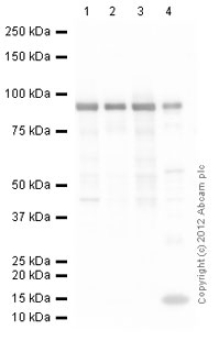 Western blot - Anti-Hsp90 antibody (ab87133)