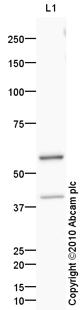 Western blot - MDM2 antibody (ab87134)