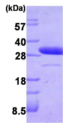 SDS-PAGE - LXN protein (Human) (ab87145)