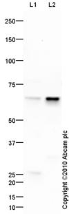 Western blot - ARHGEF9 antibody (ab87148)