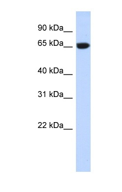 Western blot - GTPBP2 antibody (ab87153)