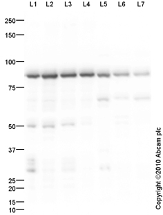 Western blot - NSF antibody (ab87155)