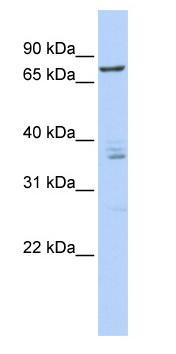 Western blot - CSTF3 antibody (ab87158)