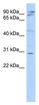 Western blot - HAX1 antibody (ab87185)