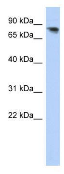 Western blot - PCDHA12 antibody (ab87186)