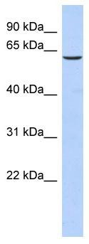 Western blot - TKTL1 antibody (ab87187)