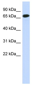 Western blot - C1orf65 antibody (ab87192)