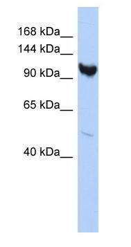 Western blot - ARMC3 antibody (ab87208)