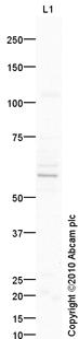 Western blot - Nectin 2 antibody (ab87220)
