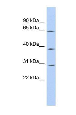 Western blot - CCDC54 antibody (ab87226)
