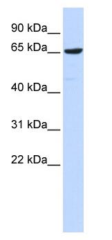 Western blot - Ebf4 antibody (ab87235)