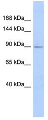 Western blot - HSPA4L antibody (ab87241)