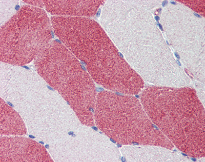 Immunohistochemistry (Formalin/PFA-fixed paraffin-embedded sections) - Anti-HMGCS1 antibody (ab87246)