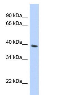 Western blot - SPON2 antibody (ab87254)