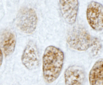 Immunohistochemistry (Formalin/PFA-fixed paraffin-embedded sections) - PLRG1 antibody (ab87268)