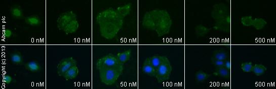 Immunocytochemistry/ Immunofluorescence-Anti-Oxytocin Receptor antibody(ab87312)