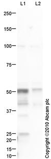 Western blot - GABA A Receptor gamma 2 antibody (ab87328)