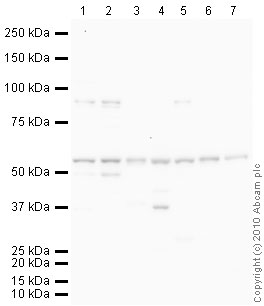 Western blot - Glutathione Reductase antibody (ab87330)