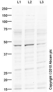 Western blot - 5HT4 Receptor antibody (ab87337)