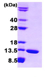 SDS-PAGE - FABP6 protein (Human) (ab87381)