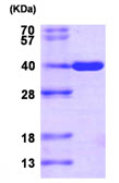 SDS-PAGE - AKR1C3 protein (His tag) (ab87417)