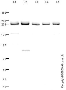 Western blot - Anti-PRPF8 antibody (ab87433)