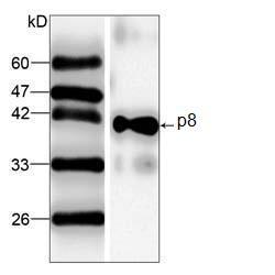 Western blot - p8 antibody [5] (ab87454)