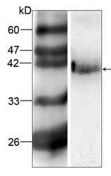 Western blot - Alpha 2 HS Glycoprotein antibody [20] (ab87455)