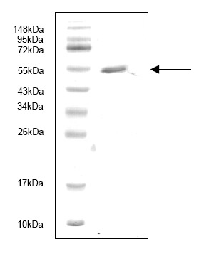 SDS-PAGE - PAF2 protein (His tag) (ab87477)
