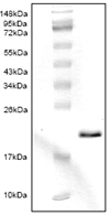 SDS-PAGE - Cystatin C protein (His tag) (ab87481)