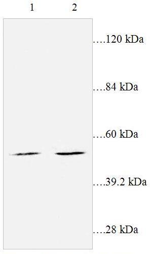 Western blot - Leukotriene B4 Receptor 2 antibody (ab87537)