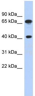Western blot - Anti-FUBP3 antibody (ab87558)