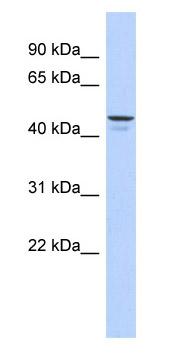 Western blot - ENPP6 antibody (ab87587)