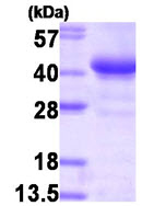 SDS-PAGE - Glycogenin 1 protein (T7 Tag) (ab87624)