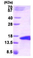 SDS-PAGE - BMP5 protein (Human) (ab87627)