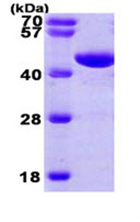 SDS-PAGE - PGK1 protein (His tag) (ab87630)