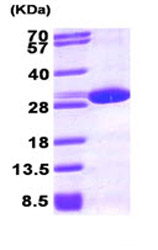 SDS-PAGE - Peroxiredoxin 6 protein (His tag) (ab87631)