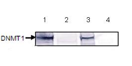 Western blot - Dnmt1 antibody (ab87654)