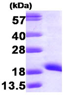 SDS-PAGE - NM23A protein (Human) (ab87667)