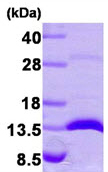 SDS-PAGE - Galectin 1 protein (Human) (ab87683)