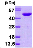 SDS-PAGE - NDRG1 protein (His tag) (ab87685)
