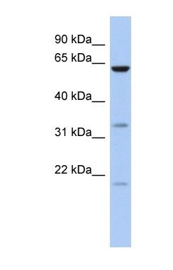 Western blot - CPNE9 antibody (ab87686)