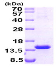 SDS-PAGE - Tcl1 protein (Human) (ab87690)