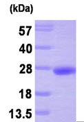 SDS-PAGE - PTP4A3 protein (His tag) (ab87716)