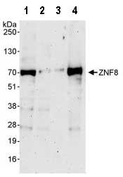 Western blot - ZNF8 antibody (ab87732)