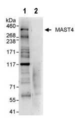 Immunoprecipitation - MAST4 antibody (ab87734)