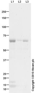 Western blot - LOXL1 antibody (ab87748)