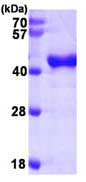 SDS-PAGE - OAS1 protein (His tag) (ab87759)