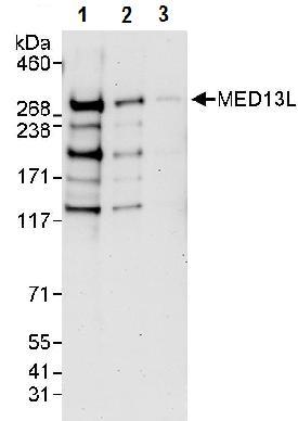 Western blot - MED13L antibody (ab87831)