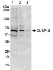 Western blot - DUSP10 antibody (ab87842)